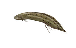 Lungfish Royalty Free Stock Images