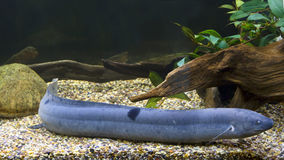 Lungfish suramericano imagenes de archivo