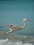 Lunging Great Blue Heron on a Gulf Coast Beach. A Great Blue Heron fishing in the shallow waters of a Gulf Coast Florida beach Royalty Free Stock Photography