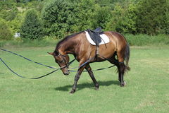 Lunging Horse. This new horse did well in his training Stock Photos