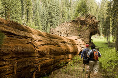 lungo l'albero d'escursione caduto del redwood degli uomini Immagini Stock