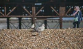Lungonmare di Brighton - gabbiani sulla spiaggia fotografia stock