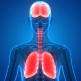 Lungor och Brain Anatomy för mänskliga organ royaltyfri illustrationer