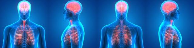 Lungor och Brain Anatomy för mänskliga organ Arkivbild