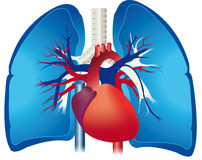 Lungs. The lung or pulmonary system is the essential respiration organ in air-breathing Stock Photos