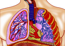 Lungs Stock Photos