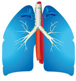 lungs Royaltyfria Foton