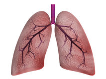 Lungs Stock Image