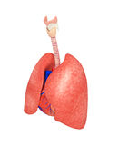Lungs anatomy artwork Royalty Free Stock Image