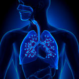 Lungs Anatomy - with detailed Alveoli Royalty Free Stock Photo