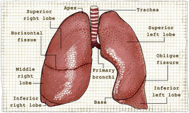 Lungs Anatomy Illustration on Paper. Lungs Anatomy detailed Illustration with words on Paper Royalty Free Stock Images