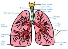 Lungs anatomy scheme Stock Photography