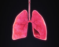 Lungs and Bronchi Anatomy Royalty Free Stock Photo