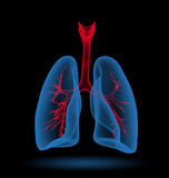 Lungs. 3D Illustration of human lungs Stock Photos