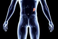Internal Organs - Spleen Stock Photo
