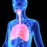 Lungs. The lungs are the essential respiration organ and are located near the backbone on either side of the heart Royalty Free Stock Photo