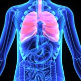 Lungs. The lungs are the essential respiration organ and are located near the backbone on either side of the heart Stock Photography