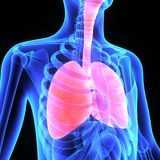 Lungs. The lungs are the essential respiration organ and are located near the backbone on either side of the heart Royalty Free Stock Image
