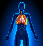 Lungs - Female Organs - Human Anatomy Royalty Free Stock Image