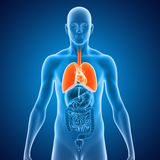 Lungs with heart Stock Photography