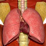 Lungs with heart Stock Images