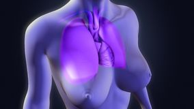 Lungs with Heart Royalty Free Stock Image