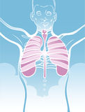 Lungs Illustration. Blue and white illustration of a human body from the waist up, featuring the lungs in pink Royalty Free Stock Images