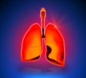 Lungs - Internal organs Stock Photo