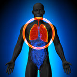 Lungs - Male anatomy of human organs - x-ray view. Lungs - Male anatomy of human organs Stock Illustration