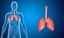 Lungs Stock Photos