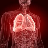 The lungs. Medically accurate illustration of the lungs stock illustration