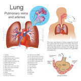 The lungs. The lungs are the primary organs of respiration in humans and many other animals including a few fish and some snails. In mammals and most other Royalty Free Stock Photos
