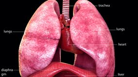 3d illustration of human body lungs anatomy. The lungs are the primary organs of the respiratory system in humans and many other animals including a few fish and Royalty Free Stock Photo