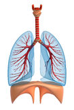 Lungs - pulmonary system. Isolated on white Stock Photos