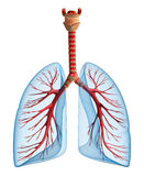 Lungs - pulmonary system. Front view. Isolated on white Royalty Free Stock Photo