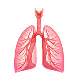 Lungs - pulmonary system. Front view Stock Images
