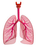 Lungs - pulmonary system. Front view Royalty Free Stock Photography