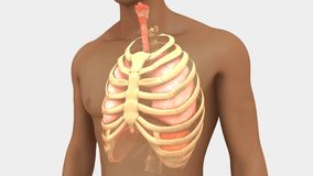 Lungs and Rib Cage. Your lungs are organs in your chest that allow your body to take in oxygen from the air. They also help remove carbon dioxide a waste gas vector illustration