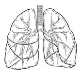 Lungs sketch. Sketch of the lungs on white background Royalty Free Stock Images