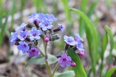 Lungwort医药在一块森林沼地在春天 库存图片