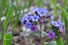 Lungwort医药在一块森林沼地在春天 免版税图库摄影