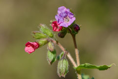 Lungwort-Blüte Stockbild