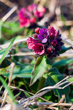 Lungwort de la flor de la primavera imagen de archivo libre de regalías