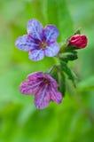Lungwort del fiore Fotografia Stock
