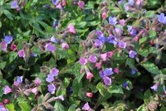 Lungwort florece (Pulmonaria Officinalis) Imagen de archivo libre de regalías