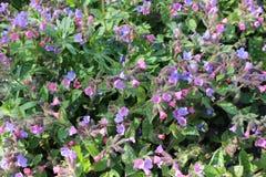 Lungwort florece (Pulmonaria Officinalis) Fotografía de archivo libre de regalías