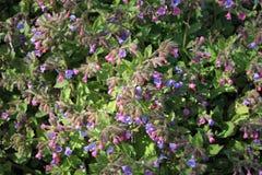 Lungwort florece (Pulmonaria Officinalis) Imágenes de archivo libres de regalías