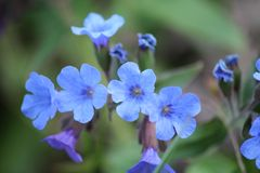 Lungwort flowers Stock Photography