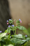 Lungwort Flowers and Tree Trunk In My Garden Royalty Free Stock Image