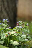 Lungwort Flowers and Tree Trunk Stock Image